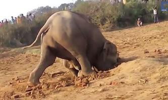Слониха 11 годин намагалася витягнути дитинча з ями