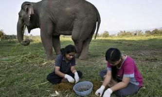 Слони і виробництво кави `чорний бивень`