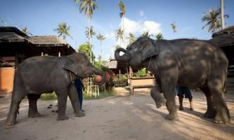 Слони малі і токтак грають в баскетбол