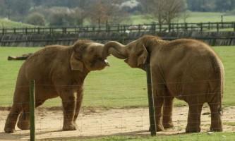 Слони заспокоюють один одного під час стресових ситуацій
