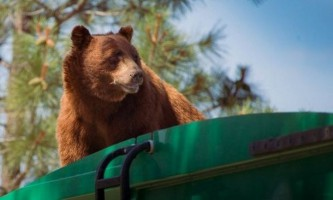 Словаччина витратить мільйони євро на захист сміття від ведмедів