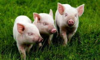 Злучка свиней