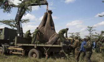 Служба охорони дикої природи кенії переселяє слонів