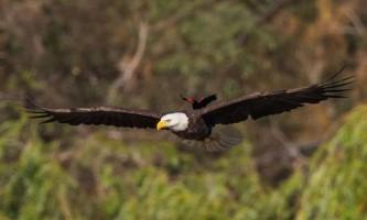Сміливий дрізд прокотився на спині орла