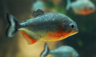 Чи зможете ви прогодувати піранью в акваріумі?