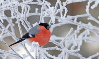Снігур - зимова птах