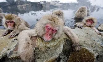 Снігові мавпи в гарячих джерелах пекельної долини