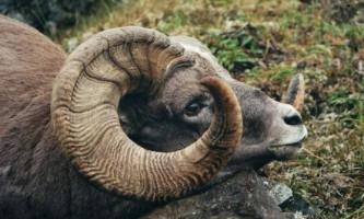 Сніжний баран - гордий трофей мисливців