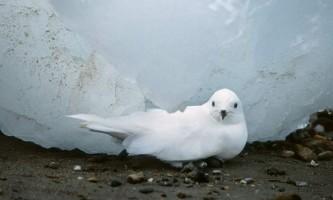Сніговий буревісник - той, хто не боїться холодів