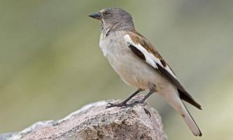Сніговий в`юрок - моторна птах родини горобиних