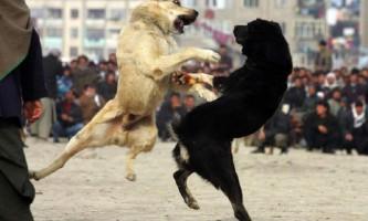 Собачі бої в афганістані