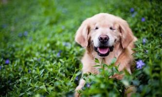 Собака без очей допомагає людям