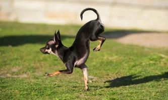 Собака по кличці конжу - рекордсмен з бігу на передніх лапах