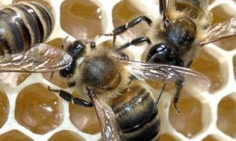 Собака отримала приз за з`їдений бджолиний вулик