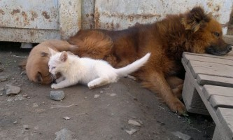 Собака прихистила глухого кошеня