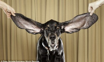 Собака з найдовшими вухами в світі