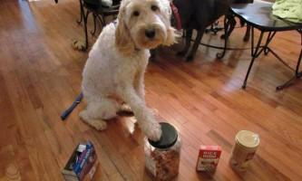 Собака рятує маленьку господиню від нападів алергії