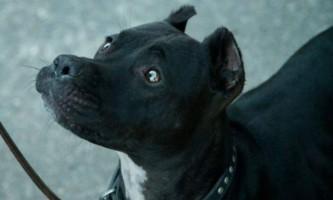Собака-рятувальник на прізвисько баггі була отруєна догхантерів