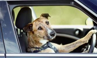 Собака за кермом автомобіля: хто кращий водій на світлі?
