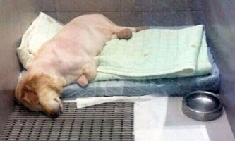 Собаці, врятованої з бійні, зробили протези для ампутованих лап (+12)