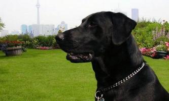 Собаки чують носом рак легенів