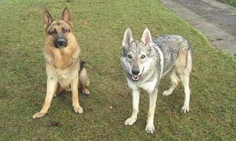 Собаки набагато гірше вовків здатні самостійно вирішувати несподівані проблеми