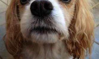 Собаки розуміють не всі, що сказано, але завжди уважно слухають нас