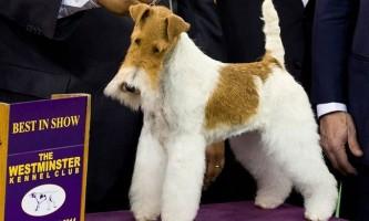 Собакою року в сша став фокстер`єр на прізвисько скай
