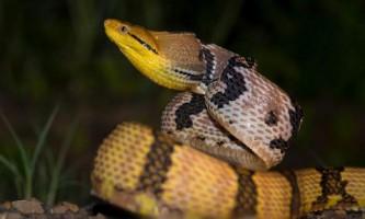 Собакозубая бойга - змія з собачими іклами?