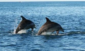 Соціальна структура популяції дельфінів своєю складністю нагадує людську