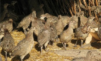 Зміст фазанів в домашніх умовах: опис процесу