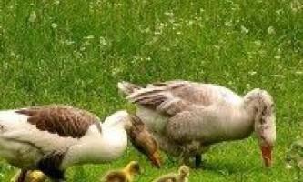 Зміст гусей
