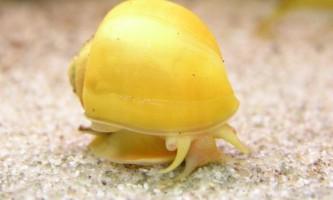 Зміст і розмноження ампулярій в акваріумі
