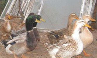 Зміст і розведення башкирських качок, особливості годування породи
