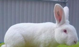 Зміст і розведення кроликів породи рекс