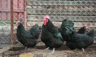 Зміст і розведення курей породи австралорп чорний