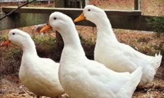 Зміст і розведення пекінських качок, особливості годування породи