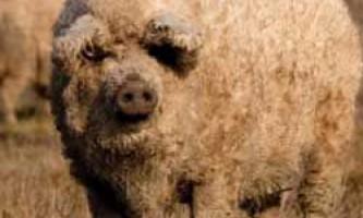 Зміст і розведення свиней породи мангалица