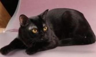 Зміст і догляд за бомбейської кішкою