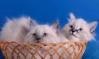 Зміст і догляд за маскарадною кішкою