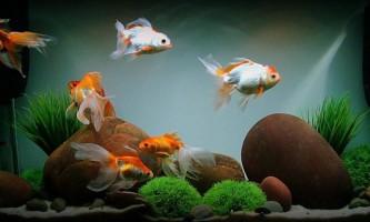 Зміст і догляд за золотими рибками