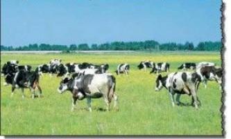 Зміст корів у літньо-пасовищний період