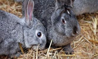 Зміст кролика в домашніх умовах: догляд за вихованцем