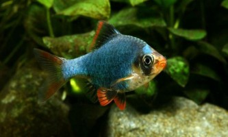 Зміст мутантів барбусів домашньому акваріумі