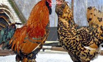 Зміст, розведення і продуктивні характеристики павлівської породи курей