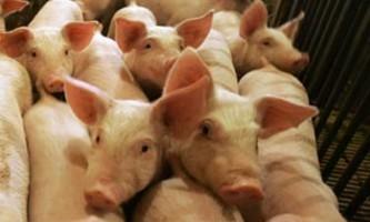 Зміст свиней