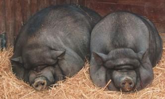 Зміст в`єтнамської свині