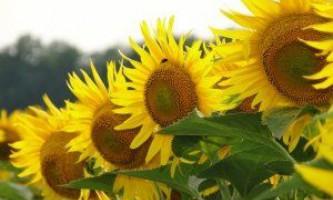 «Сонячна квітка»: сорти соняшнику