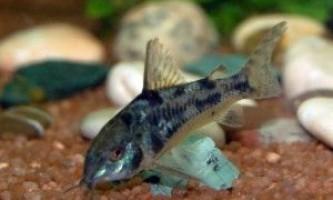 Сом крапчастий: як утримувати в акваріумі