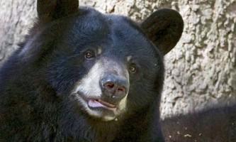 Сон барібалу - чорних ведмедів (ursus americanus), зовсім не класична зимова сплячка